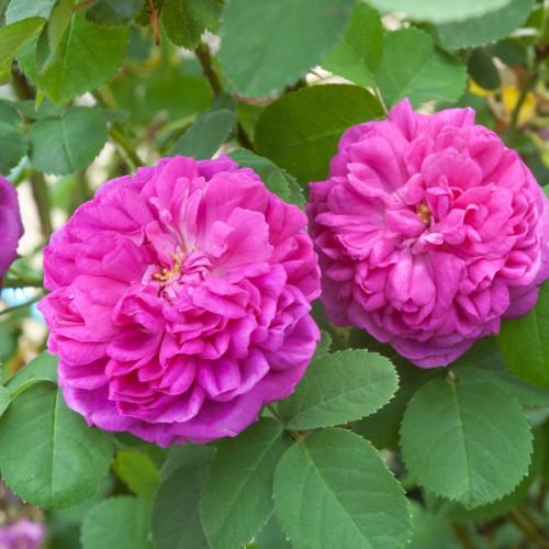 ローズ ド レッシュ - Rose de Rescht