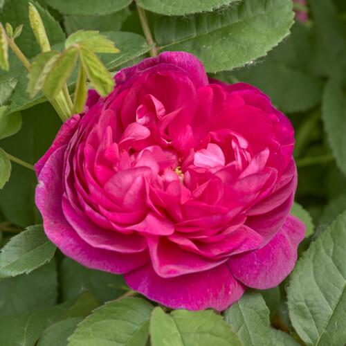 ローズ ド ロワ - Rose de Roi