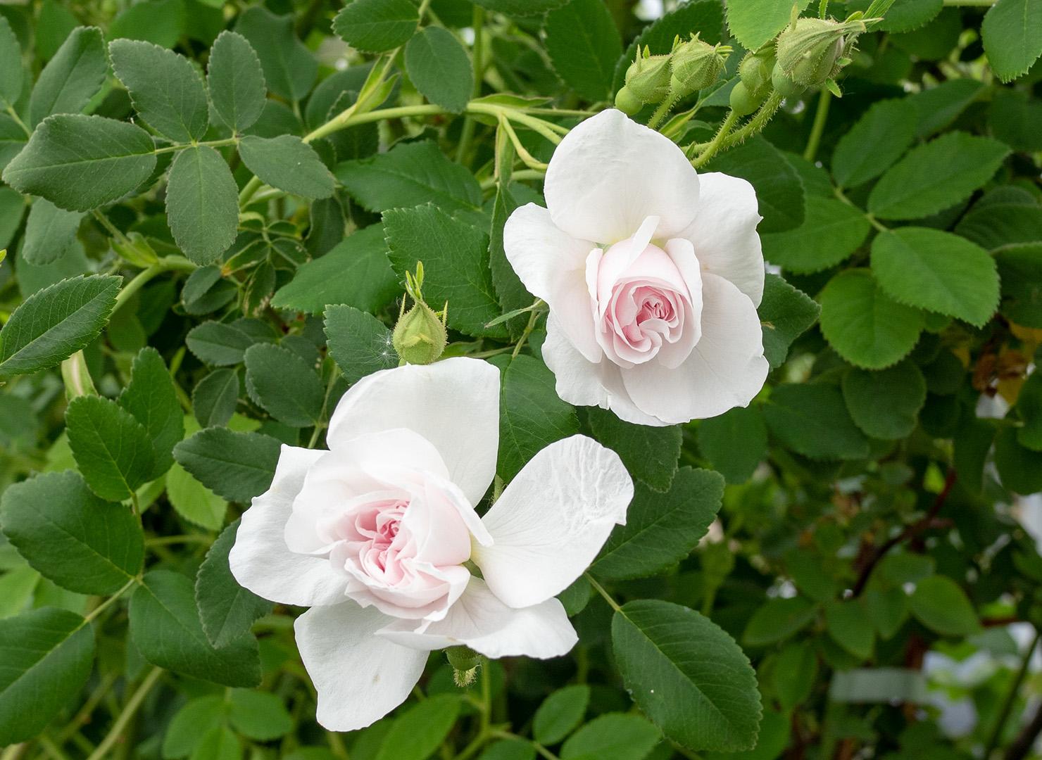 ローズ ディベール - Rose d'Hivers