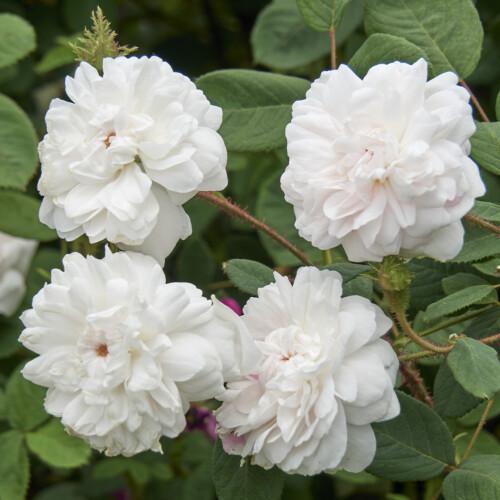 シェイラーズ ホワイト モス - Shailer's White Moss