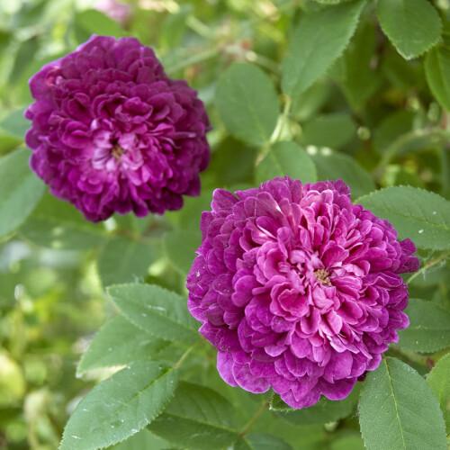 紫玉 - Sigyoku