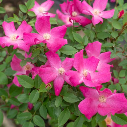 シングル ピンクチャイナ - Single Pink China
