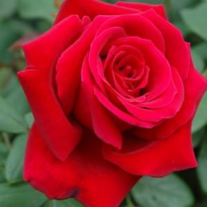 はじめてビロード調の深紅色を体現 - クリムソン グローリー