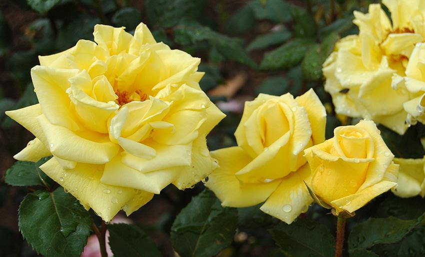 戦前を代表する黄色ばらの名花 - ミセス PS デュポン