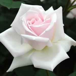 HT種で「剣弁高芯」の花型を確立した歴史的名花 - オフェリア