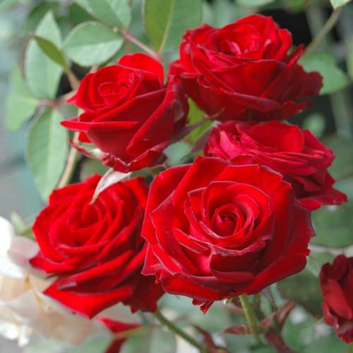 ストロベリー クラッシュ - Strawberry Crush