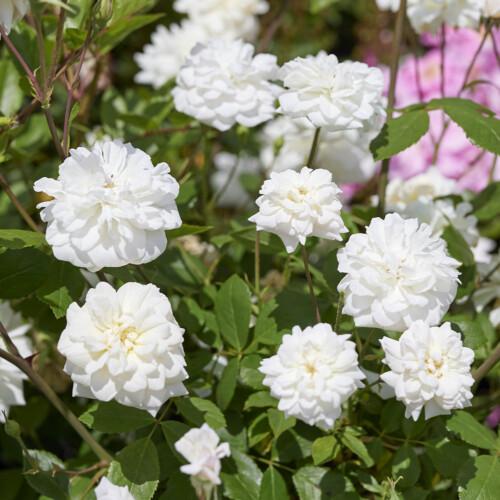 ホワイト セシル ブルンネ - White Cecile Brunner