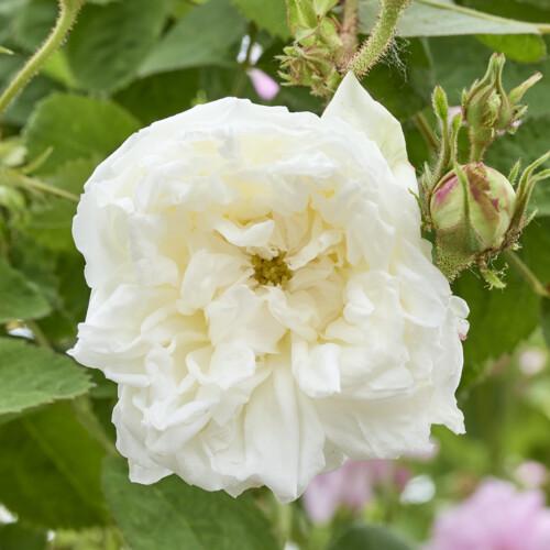 ロバンス - White Provence