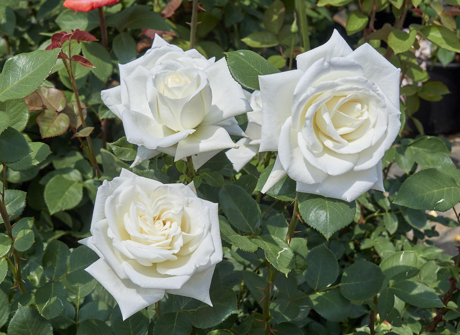 ホワイト クイーン エリザベス - White Queen Elizabeth