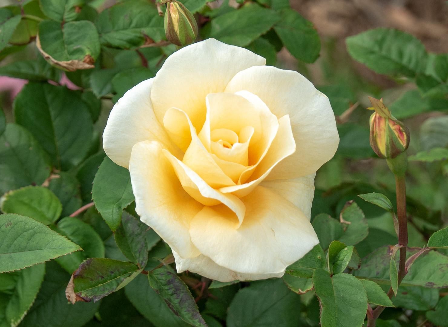 イエロー クイーン エリザベス - Yellow Queen Elizabeth